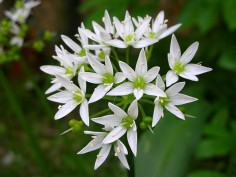 Allium ursinum 5.jpg_200655174517_Allium ursinum 5